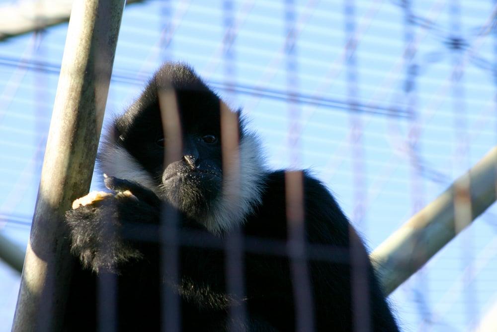 Black Monkey Eating his food