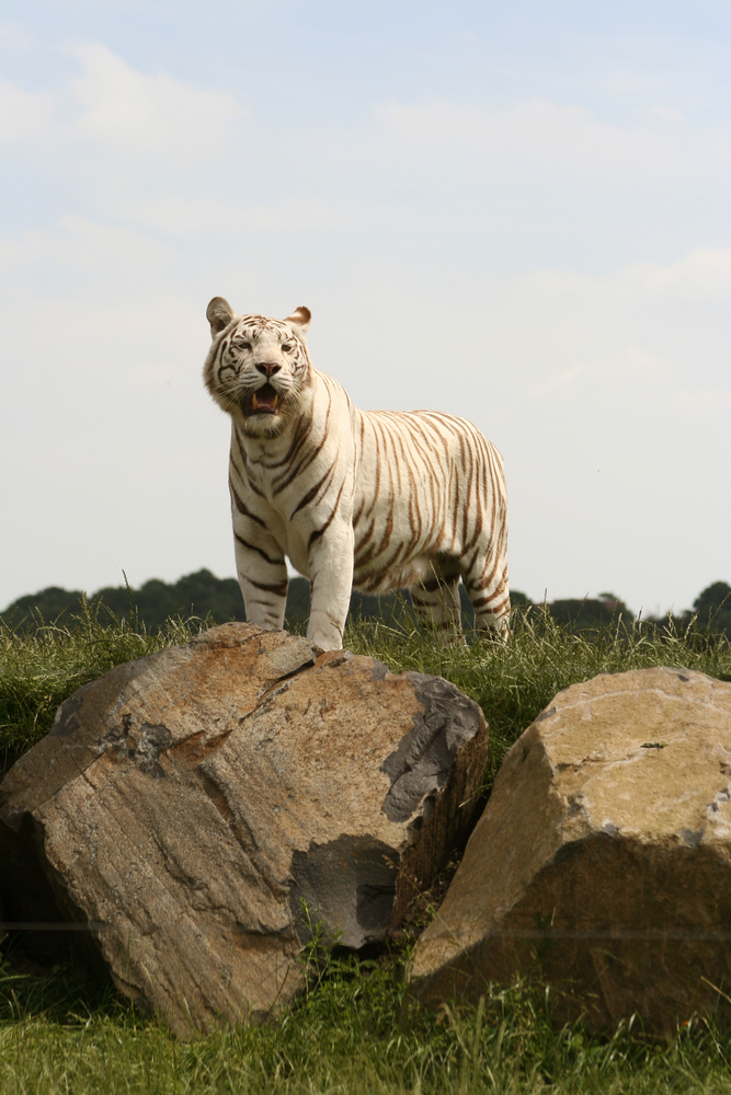 long shot of a white tiger